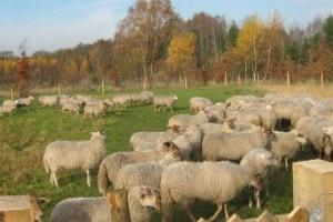 Schapen in de herfst op Landgoed de Biestheuvel