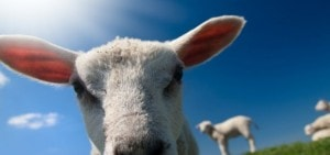 Klompengolf tussen de schapen op Landgoed de Biestheuvel