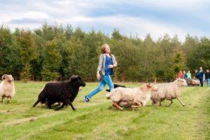 Workshop schapen drijven Landgoed de Biestheuvel