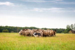 Workshop schapen drijven bij Landgoed de Biestheuvel