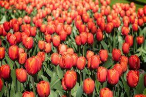 Tulpen op Landgoed de Biestheuvel